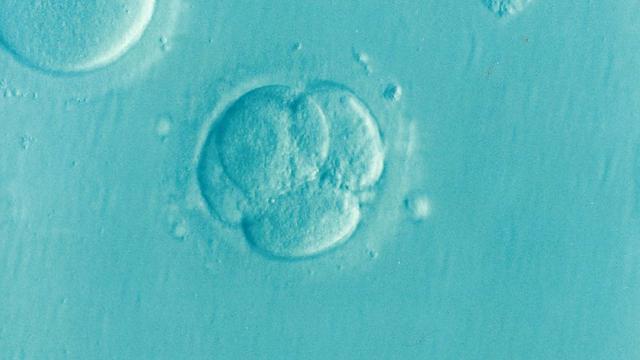 embrion 5 zile